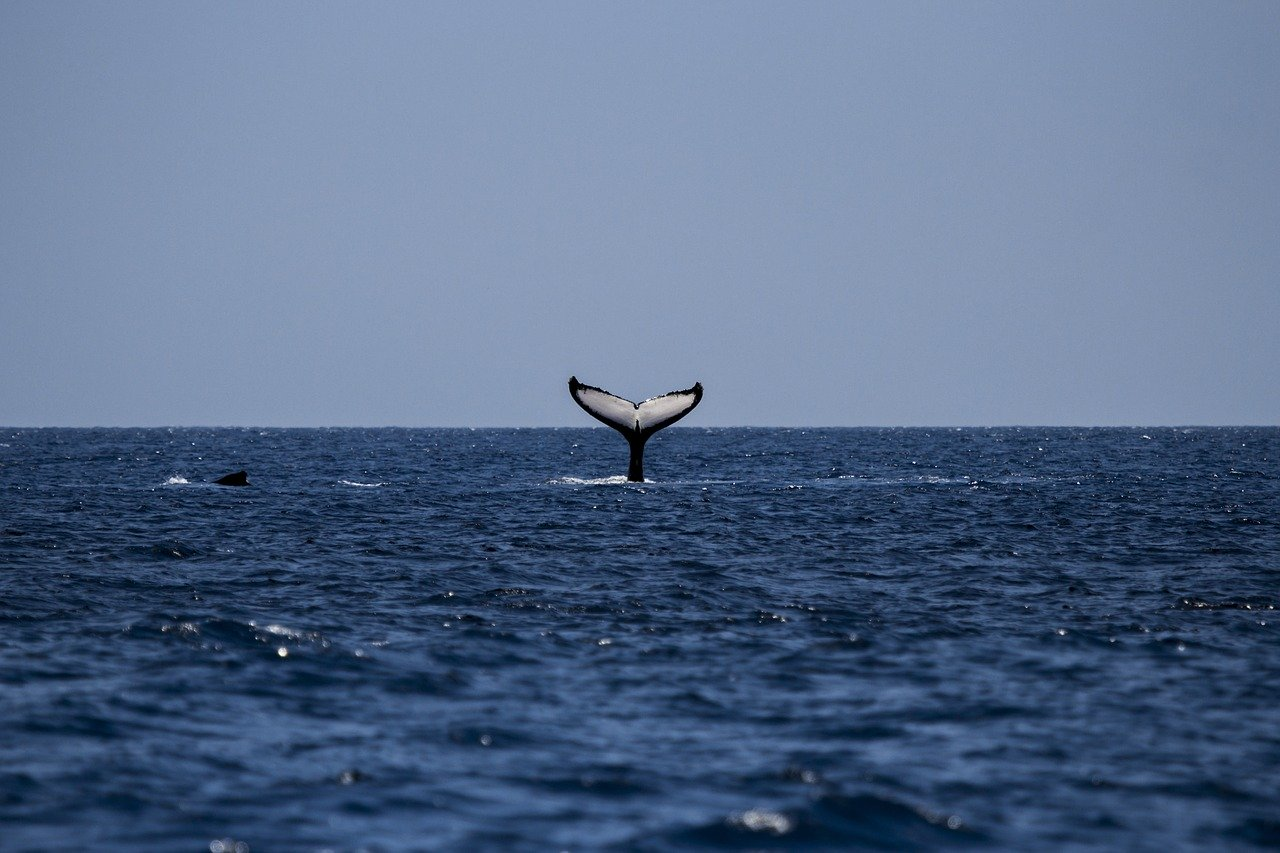 whale, humpback, humpback whale
